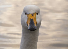 Fim do extremo da cisne acima Foto de Stock