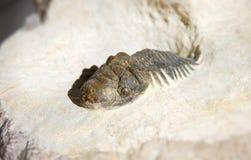 Fim do fóssil do trilobite de Crotalocephalus Gibbus acima em uma base da terra firme Imagem de Stock Royalty Free
