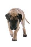 Fim do filhote de cachorro do grande dinamarquês acima Fotografia de Stock