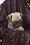 Fim do filhote de cachorro do Pug acima fotos de stock