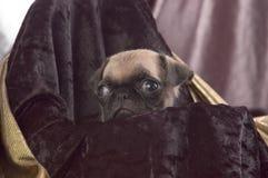Fim do filhote de cachorro do Pug acima   imagens de stock