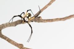 Fim do frontal da aranha do zíper acima Imagens de Stock