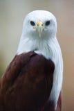 Fim do frontal do papagaio de Brahminy acima Imagem de Stock