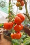 Fim do fruto do tomate acima Imagem de Stock