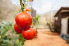 Fim do fruto do tomate acima Fotos de Stock