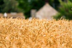 Fim do fundo do campo de trigo Foto de Stock