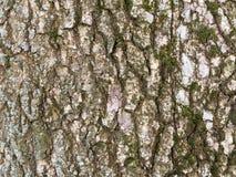 Fim do fundo de BarkTexture da árvore acima do vidoeiro de prata do tiro com musgo Fotos de Stock Royalty Free