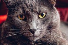 Fim do gato azul do russo acima imagem de stock royalty free