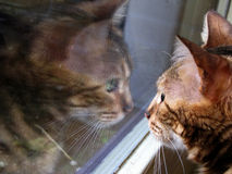 Fim do gato de Bengal acima do retrato com reflexão de espelho na janela Fotos de Stock