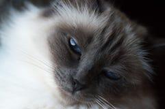 Fim do gato de Birman acima Imagem de Stock