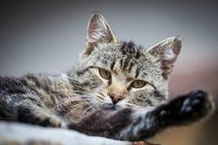 Fim do gato de gato malhado acima Fotografia de Stock Royalty Free