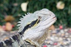 Fim do lagarto de Frillneck acima fotografia de stock royalty free