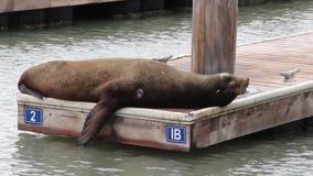 Fim do leão de mar acima, cais 39, San Francisco, Califórnia vídeos de arquivo