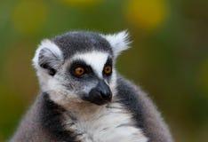 Fim do lemur Ring-tailed acima do retrato Fotos de Stock Royalty Free