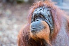 Fim do macaco do orangotango acima do retrato Fotografia de Stock Royalty Free