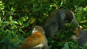 Fim do macaco do Saimiri acima video estoque