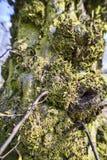 Fim do musgo da árvore acima Imagem de Stock