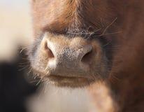 Fim do nariz da vaca acima Imagens de Stock Royalty Free
