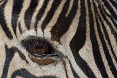 Fim do olho da zebra acima com chicotes do olho Foto de Stock Royalty Free