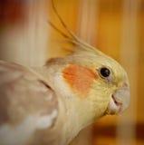 Fim do pássaro do Cockatiel acima Fotografia de Stock Royalty Free