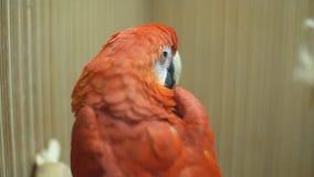 Fim do papagaio da arara da arara acima video estoque