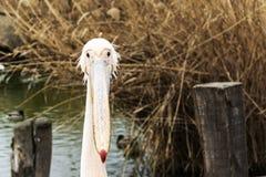 Fim do pelicano acima da foto do retrato imagens de stock
