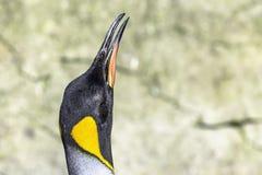 Fim do pinguim de rei acima do retrato com sua cabeça acima imagem de stock