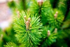 Fim do pinheiro Fotografia de Stock Royalty Free