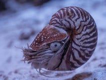 Fim do pompilius do nautilus acima no aquário imagem de stock royalty free