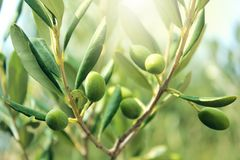 Fim do ramo de oliveira acima imagens de stock