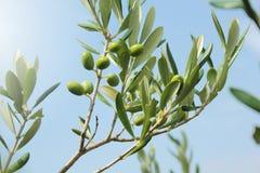 Fim do ramo de oliveira acima foto de stock