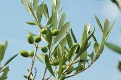 Fim do ramo de oliveira acima imagens de stock royalty free