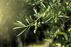 Fim do ramo de oliveira acima fotografia de stock