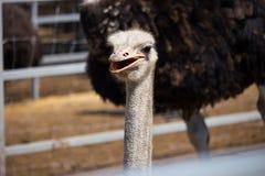 Fim do retrato da avestruz acima Ema curioso na explora??o agr?cola Cara orgulhosa da avestruz Close up peludo engra?ado do ema C imagem de stock