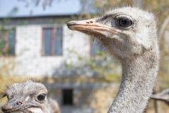 Fim do retrato da avestruz acima Ema curioso na explora??o agr?cola Cara orgulhosa da avestruz Close up peludo engra?ado do ema C foto de stock