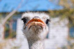 Fim do retrato da avestruz acima Ema curioso na explora??o agr?cola Avestruz de observação orgulhosa Close up peludo engra?ado do imagem de stock