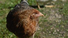 Fim do retrato da galinha de Brown acima video estoque