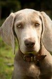 Fim do retrato do cachorrinho de Weimaraner acima dos olhos azuis Fotografia de Stock Royalty Free