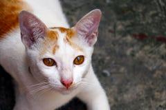 Fim do retrato do gato acima Foto de Stock Royalty Free