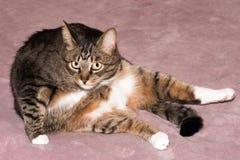 Fim do retrato do gato acima Imagem de Stock