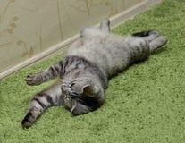 Fim do retrato do gato acima, somente colheita principal, gato de jogo irritado curioso Imagem de Stock Royalty Free