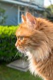 Fim do retrato do gato acima, somente colheita principal, olhando tragando Imagem de Stock Royalty Free