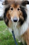Fim do retrato do sheepdog de Shetland acima fotos de stock royalty free