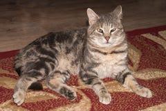 Fim do retrato do gato acima Gato cinzento bonito Imagens de Stock
