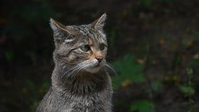 Fim do retrato do wildcat europeu acima video estoque