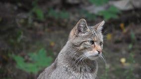 Fim do retrato do wildcat europeu acima filme