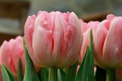 Fim do ` s da tulipa acima Fotos de Stock Royalty Free