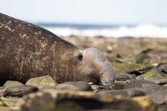 Fim do sul masculino do selo de elefante (leonina do Mirounga) acima do perfil Fotografia de Stock