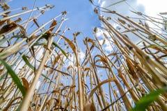 Fim do trigo antes da colheita imagem de stock royalty free