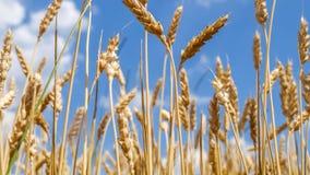 Fim do trigo antes da colheita Fotografia de Stock Royalty Free